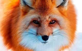 К чему снится лиса (для девушки, женщины): рыжая, бешеная, мертвая, с лисятами – толкование