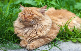 Сонник кот рыжий ласкается