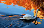 Сонник Лебедь  , к чему снится Лебедь женщине  , что означает увидеть Лебедя во сне