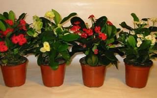 Сонник цветущие комнатные растения