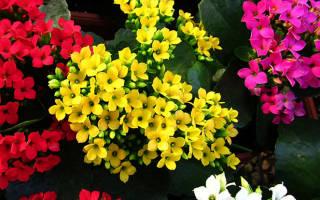 Цветок каланхоэ польза и вред