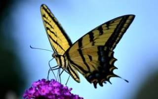 Черная бабочка залетела в дом примета