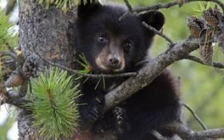 К чему снится медвежонок Толкование сна с медвежатами по сонникам