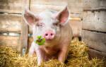 Приснилась свинья в доме