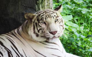 К чему снится нападающий тигр