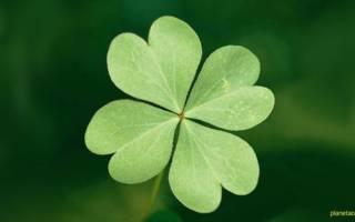 Четырехлистный клевер — значение талисмана удачи