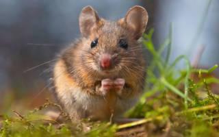 К чему снятся мыши бегающие по дому