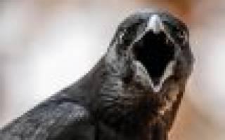 Сонник черный ворон. К чему снится черный ворон во сне приснился