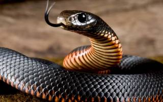 Мусульманский сонник черная змея