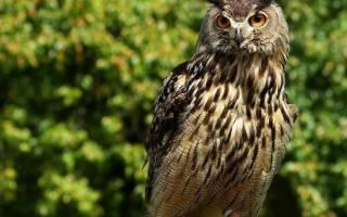 История и значение символа совы