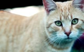 Какую породу кошек завести в квартире и какого котенка выбрать если в доме ребенок
