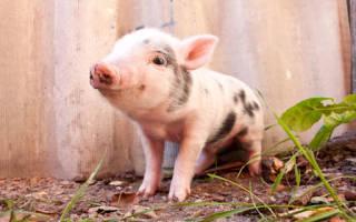 К чему снится свинья (живая, неживая): женщине, мужчине – толкование
