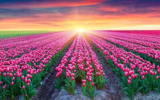 К чему снятся тюльпаны — желтые, красные, белые. Букет тюльпанов