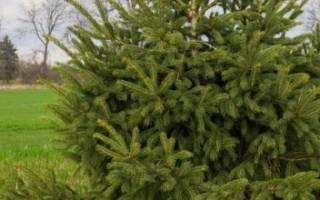 Почему нельзя сажать елки на участке