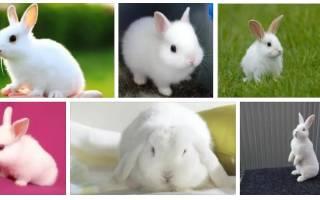 К чему снятся Кролики.Сон кролик белый,маленький снится женщине