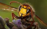К чему снятся осы — сонник, толкование сна про укус пчелы, много больших ос, осиное гнездо, улей по сонникам