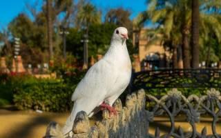 К чему снятся голуби. Толкования Эзопа, Ванги и Миллера