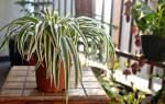 Хлорофитум приметы и суеверия для дома