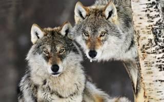К чему снятся волки женщине которые бегут